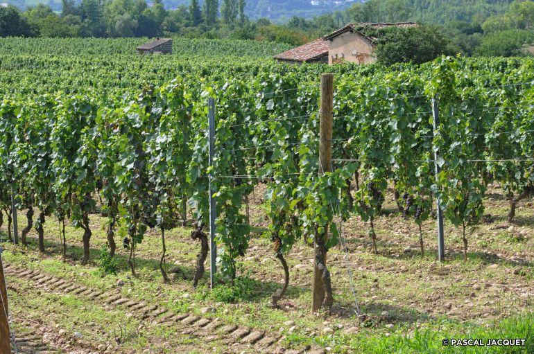 Millery-vigne-∏-Pascal-JACQUET-10
