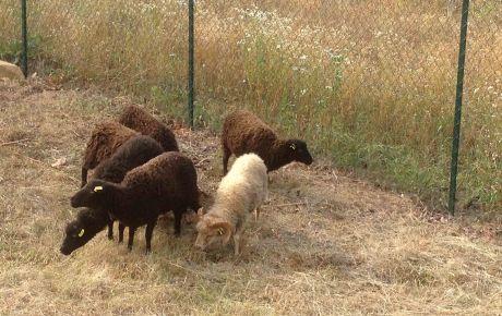 moutons-sacuny-460x290